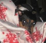 Även hund nummer två tycker tillställningen är jätte tråkig! Men det går an när man är nedbäddad i en barnvagn...